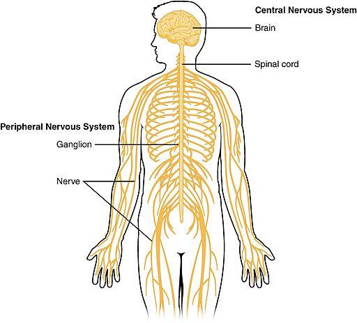 Pain: Peripheral Neurogenic Pain (Nerve Pain) | Shirley Ryan