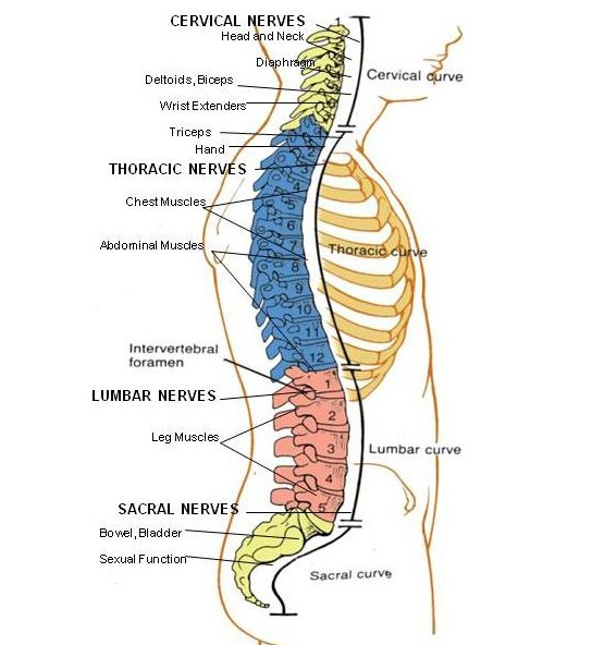 Spinal Cord Injury: What is it and what does it affect? | Shirley ...