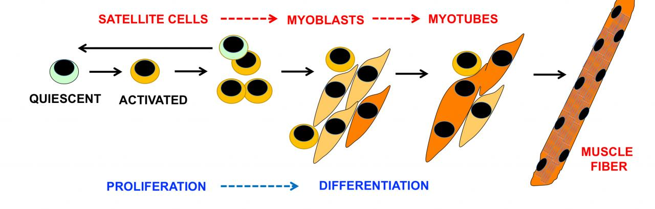 Satellite cell differentiation