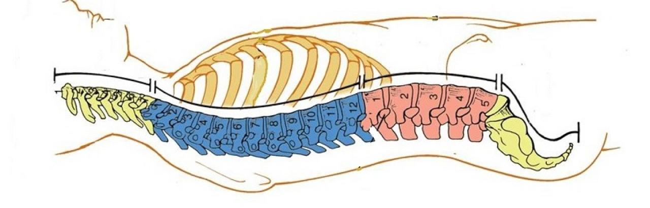 spinal cord horizontal